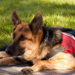 Service dog rests in the shade
